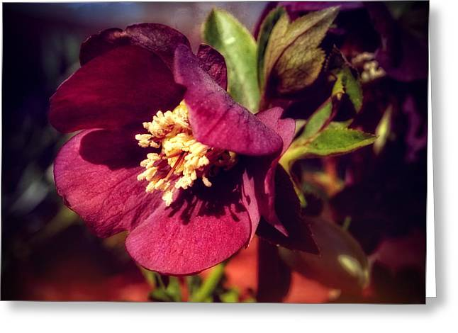 Burgundy Greeting Cards - Burgundy Hellebore Flower Greeting Card by Mary Machare
