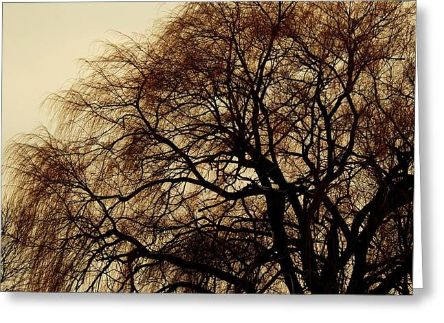 Burlington Willow Greeting Card by TODD SHERLOCK