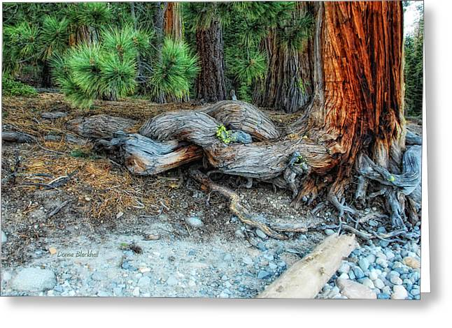 Tree Roots Photographs Greeting Cards - Burly Greeting Card by Donna Blackhall