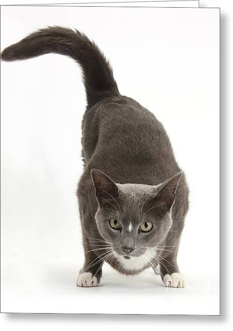 Wag Greeting Cards - Burmese-cross Male Cat Greeting Card by Mark Taylor