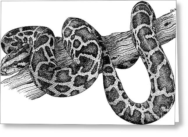Constricting Greeting Cards - Burmese Python Greeting Card by Roger Hall