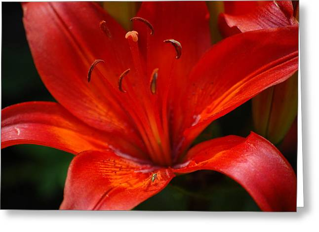 Sunburst Floral Still Life Greeting Cards - Burning Passion Greeting Card by Stephen Good
