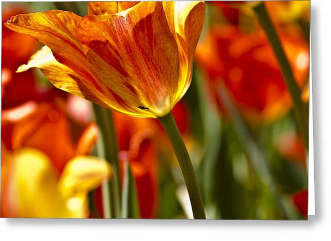 Tulips-Flowers-Tulips Burning Greeting Card by Matthew Miller