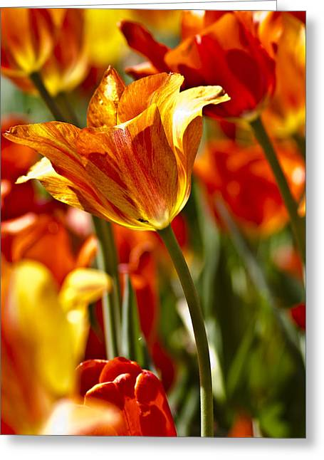 Recently Sold -  - Close Focus Nature Scene Greeting Cards - Tulips-Flowers-Tulips Burning Greeting Card by Matthew Miller