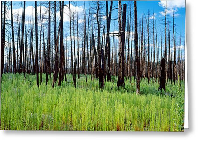 Natural Disaster Greeting Cards - Burnt Pine Trees In A Forest, Grand Greeting Card by Panoramic Images