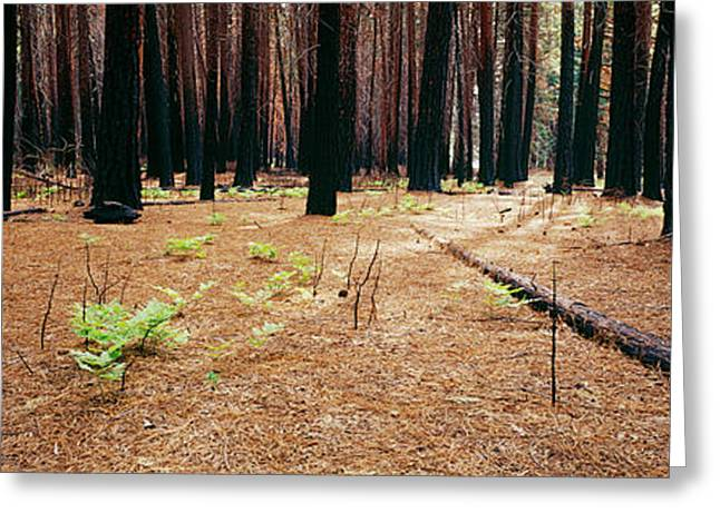 Natural Disaster Greeting Cards - Burnt Pine Trees In A Forest, Yosemite Greeting Card by Panoramic Images