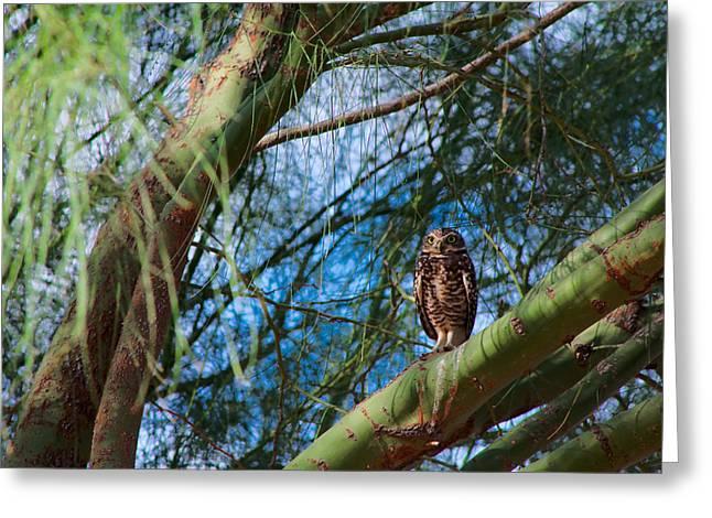 Wildlife Genre Greeting Cards - Burrowing Owl in a Palo Verde Tree Greeting Card by Ed  Cheremet