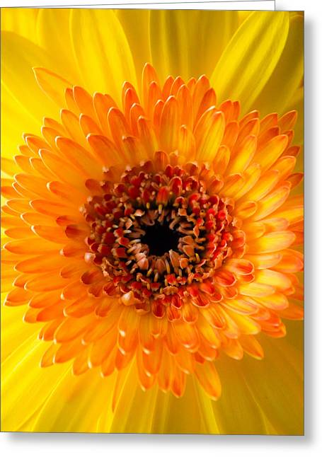 Barberton Daisy Greeting Cards - Burst of Sunshine Greeting Card by Shelby  Young