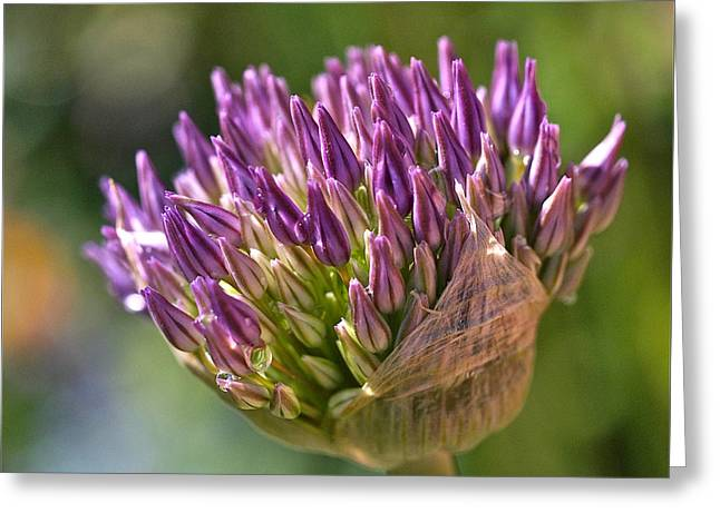 Chives Greeting Cards - Bursting Allium Purple Sensation Greeting Card by Rona Black