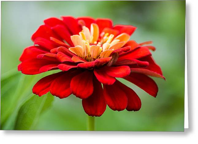 Zinnias Greeting Cards - Bursts of Color Greeting Card by Parker Cunningham
