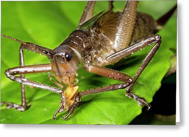 Bush Cricket Feeding Greeting Card by Dr Morley Read