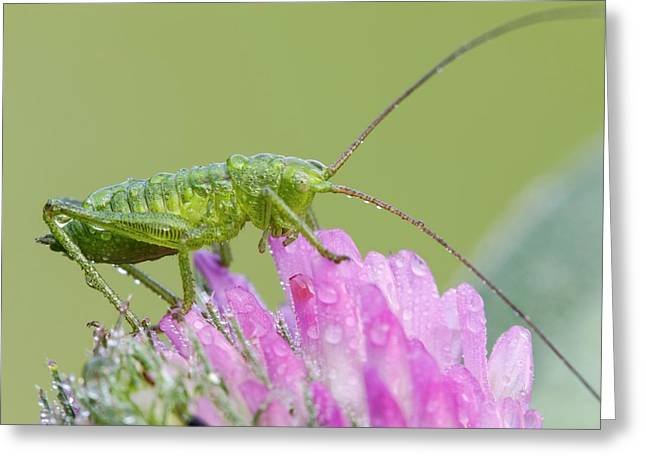 Bush Cricket Greeting Card by Heath Mcdonald