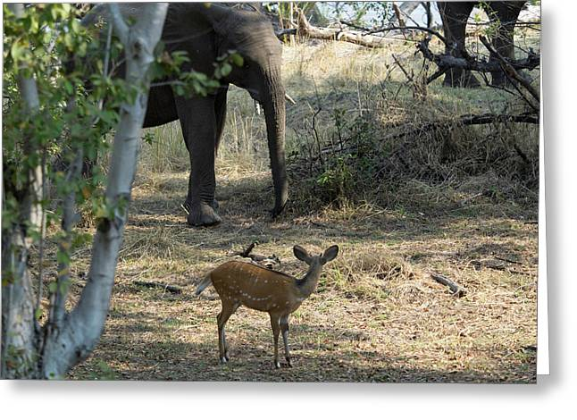 Bushbuck And Elephant In A Forest, Toka Greeting Card by Panoramic Images