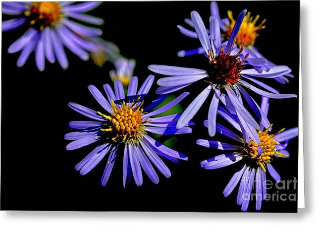 Aster Greeting Cards - Bushy Aster Light and Shadow Greeting Card by Thomas R Fletcher
