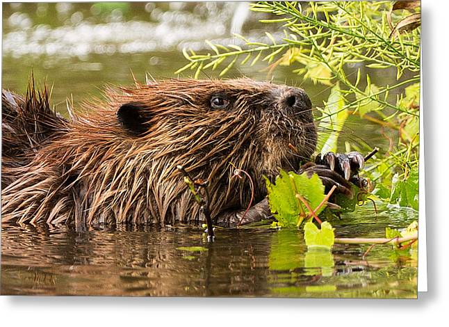 Beaver Greeting Cards - Busy as a Beaver Greeting Card by Everet Regal