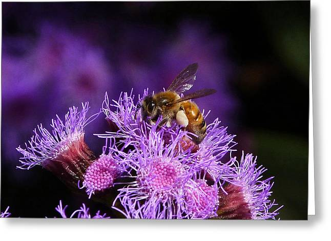 Australian Bees Greeting Cards - Busy Australian Bee Collecting Pollen Greeting Card by Margaret Saheed