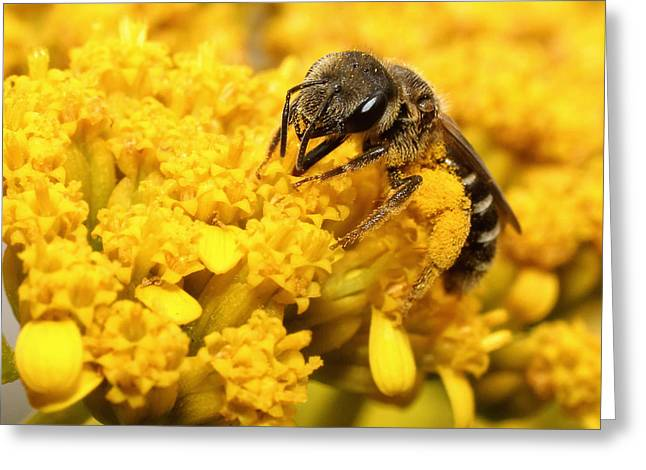 Close-up Greeting Cards - Busy Bee Greeting Card by Dawn Currie