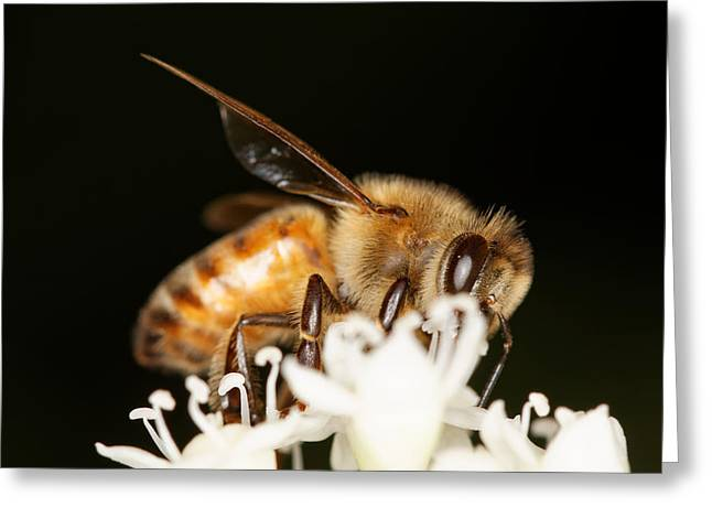 Compounds Greeting Cards - Busy Bee Greeting Card by Jonathan Davison