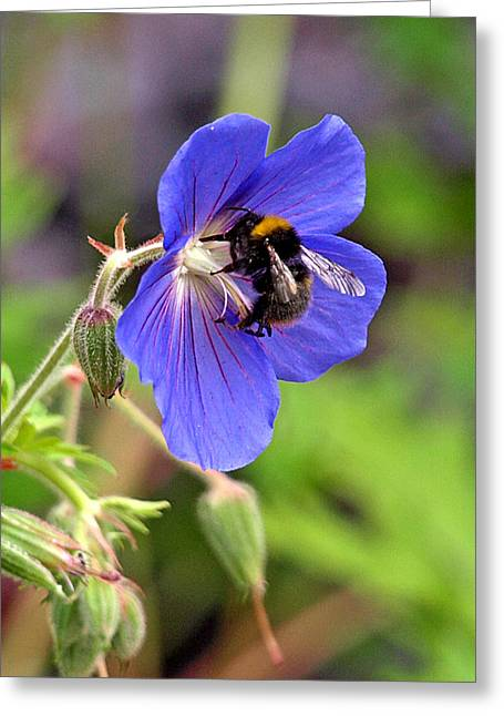 Garden Petal Image Greeting Cards - Busy Bee On A Blue Geranium Greeting Card by Gill Billington