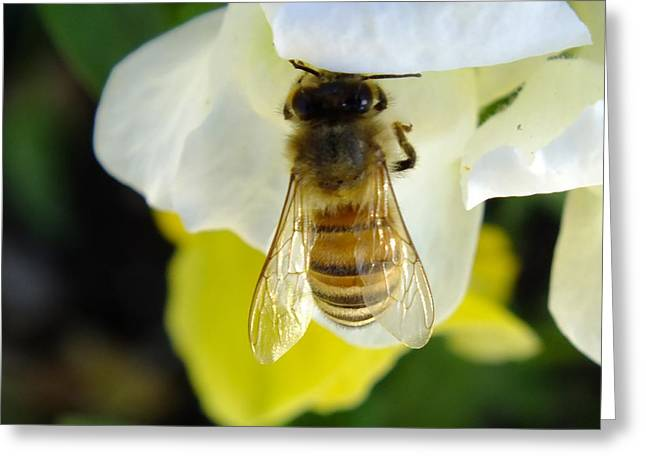 Australian Bees Greeting Cards - Busy Bee Toowoomba Queensland Australia Greeting Card by Sandra Sengstock-Miller
