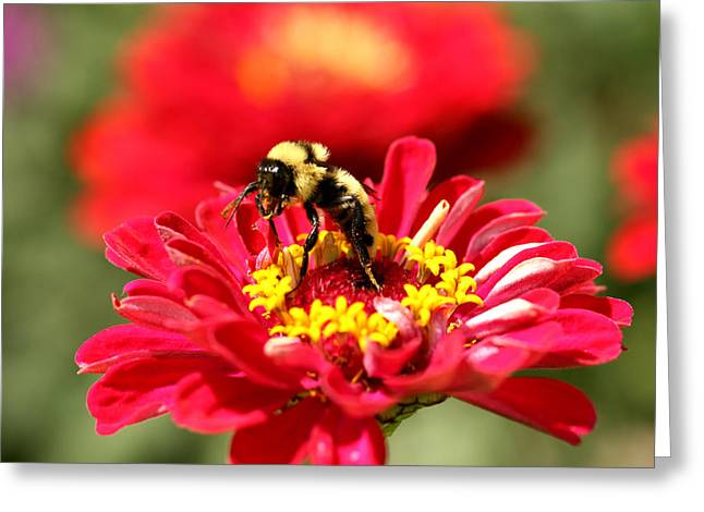 Gathering Greeting Cards - Busy Bumblebee Greeting Card by Darrin Aldridge