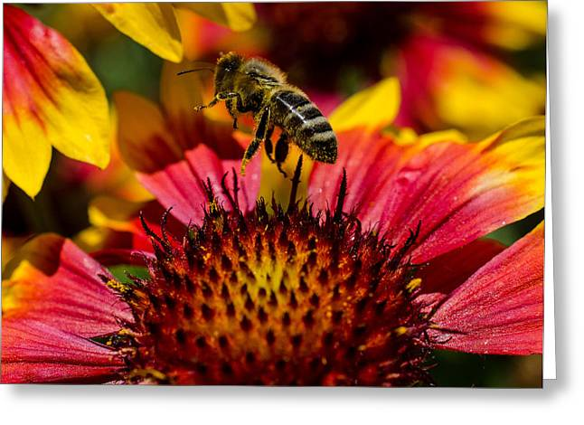 Gathering Greeting Cards - Busy Buzzing Bee Greeting Card by Jordan Blackstone