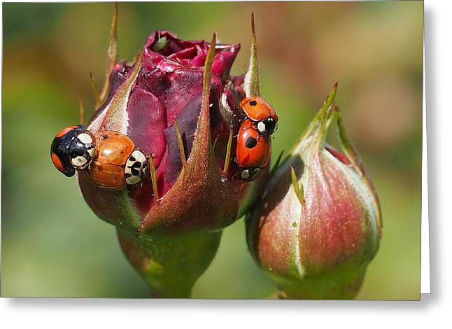 Ladybugs Greeting Cards - Busy Ladybugs Greeting Card by Rona Black