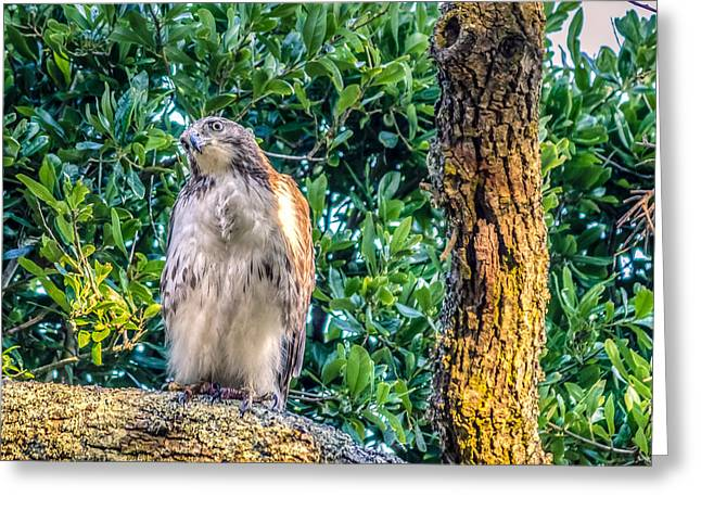 Buteo Jamaicensis On Quercus Virginiana Greeting Card by Rob Sellers