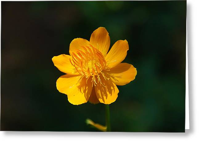 Blooms Greeting Cards - Buttercup Greeting Card by Aimee L Maher Photography and Art