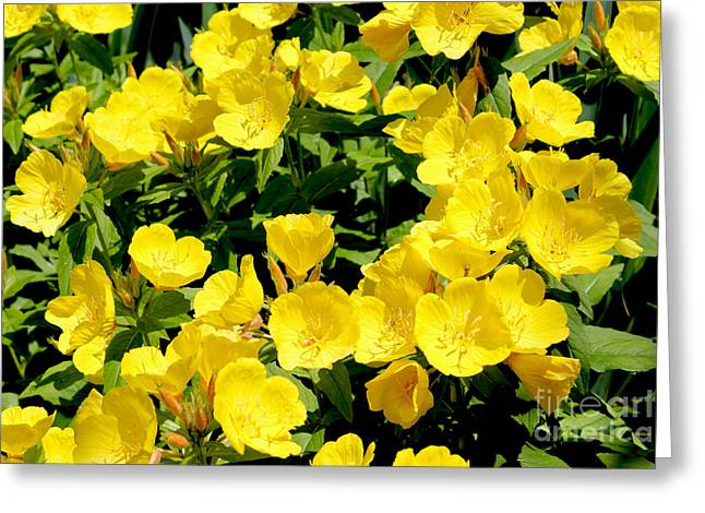 Botanical Pyrography Greeting Cards - Buttercup Flowers Greeting Card by Corey Ford