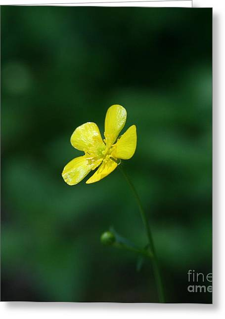 Flower Photograph Greeting Cards - Buttercup Greeting Card by Neal  Eslinger