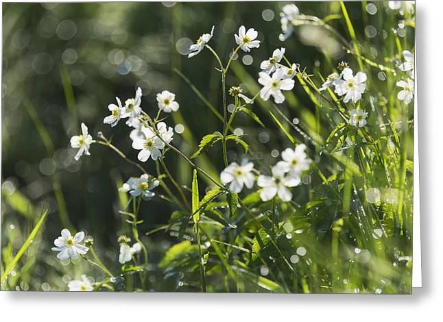 Close Focus Nature Scene Greeting Cards - Buttercup _ranunculus Platanifolius__ Greeting Card by Carl Bruemmer