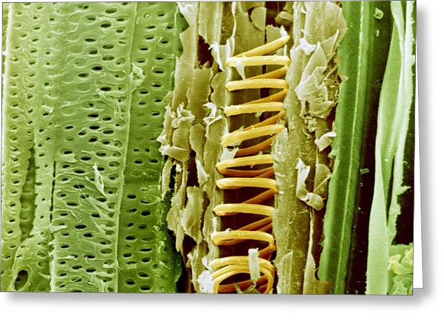 Strengthen Photographs Greeting Cards - Buttercup stem, SEM Greeting Card by Science Photo Library
