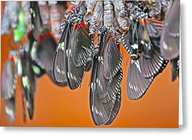 Cocoon Greeting Cards - Butterflies and Cocoons Greeting Card by Peggy Collins
