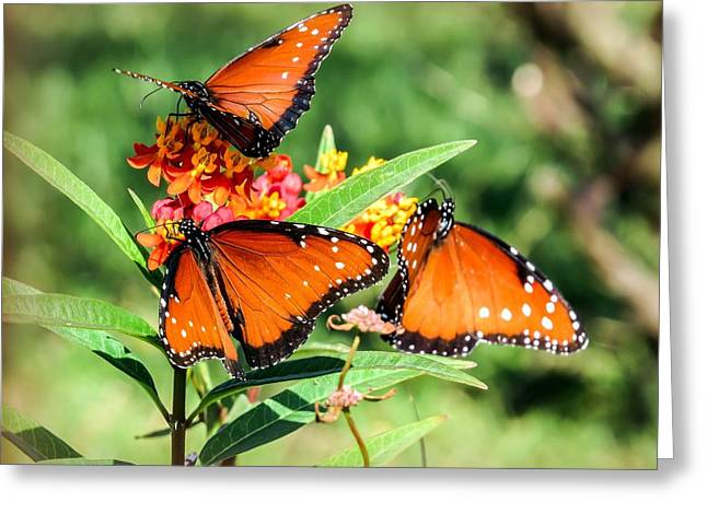 Monarch Butterfly Greeting Cards - Butterflies  Greeting Card by Zina Stromberg