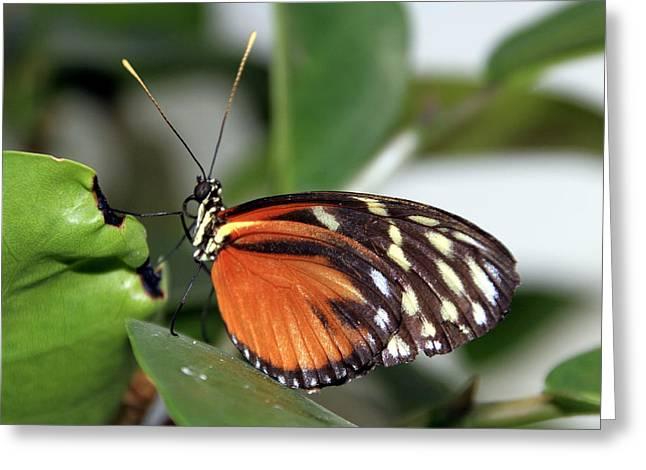 Key West Greeting Cards - Butterfly 2 Greeting Card by Bob Slitzan