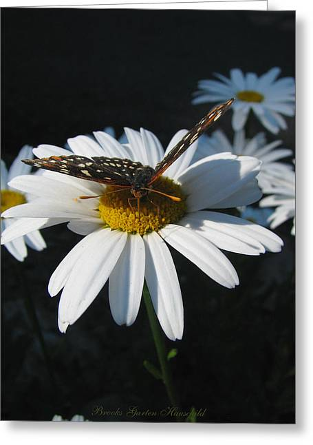 The Nature Center Greeting Cards - Butterfly and Shasta Daisy 2  Greeting Card by Brooks Garten Hauschild