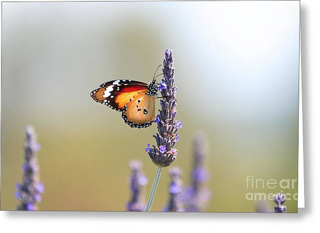 Monarch Greeting Cards - Butterfly and Lavender  Greeting Card by Bill  Robinson
