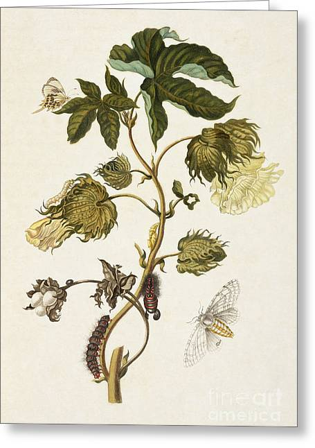 Artwork Of Butterfly Greeting Cards - Butterfly And Moth Metamorphosis Greeting Card by Getty Research Institute