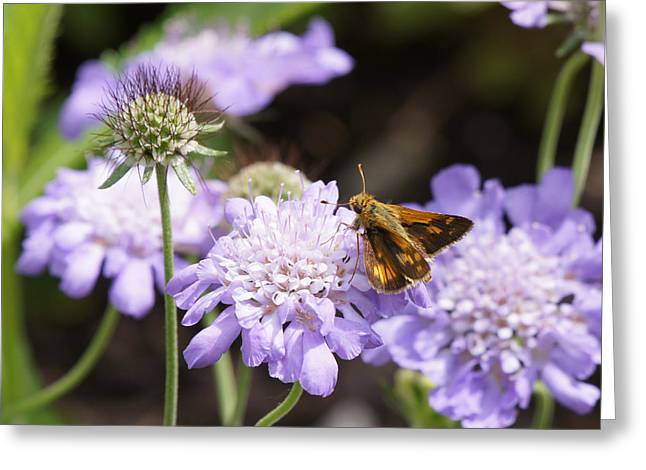 Reflections Of Infinity Greeting Cards - Butterfly and Pincushion Flowers Greeting Card by Robert E Alter Reflections of Infinity