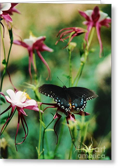 Pinks And Purple Petals Greeting Cards - Butterfly and Pink Columbine Greeting Card by Heather Kirk