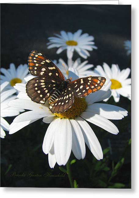 Print Photographs Greeting Cards - Butterfly and Shasta Daisy Greeting Card by Brooks Garten Hauschild