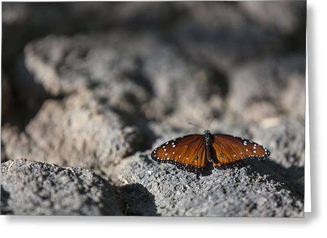 Depth Of Field Greeting Cards - Butterfly at Rest 1 Greeting Card by Scott Campbell