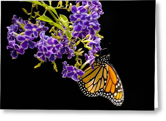 Common Tiger Butterfly Greeting Cards - Butterfly Attraction Greeting Card by Phyllis Peterson