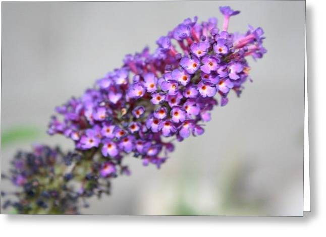 Neely Greeting Cards - Butterfly Bush Up Close Greeting Card by Jo Anne Neely Gomez