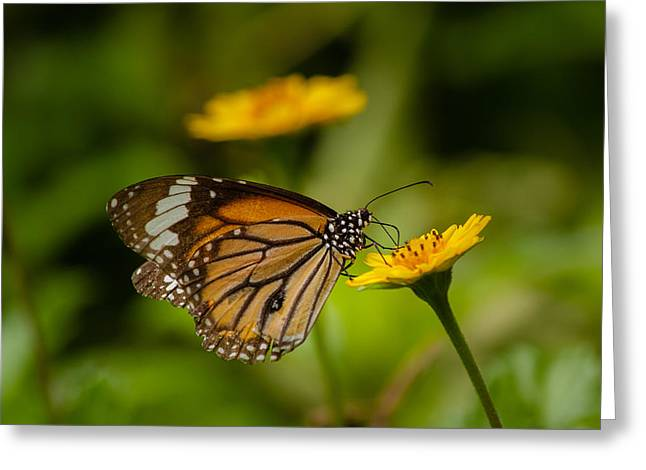 Common Tiger Butterfly Greeting Cards - Butterfly - Common Tiger Greeting Card by Saurav Pandey