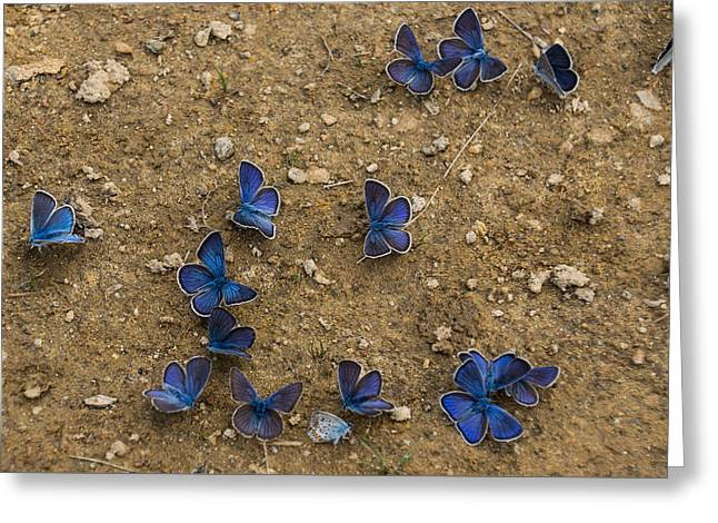Gathering Greeting Cards - The Butterfly Convention Greeting Card by Georgia Mizuleva