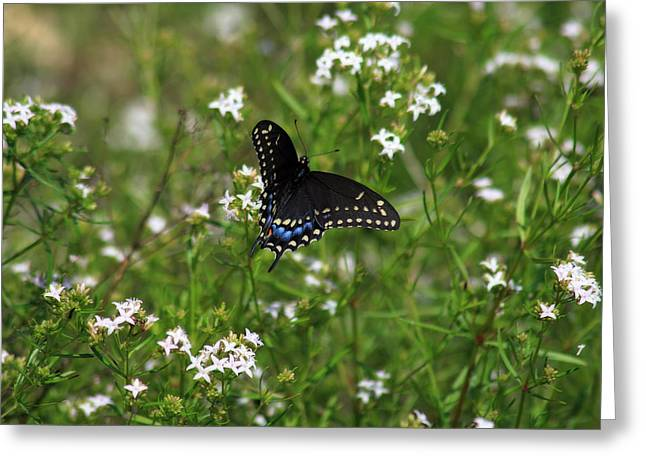 Spicebush Digital Art Greeting Cards - Spicebush Swallowtail Butterfly Greeting Card by Corey Haynes