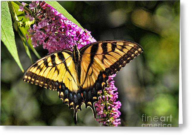 Buterfly Greeting Cards - Butterfly - Eastern Tiger Swallowtail Greeting Card by Paul Ward