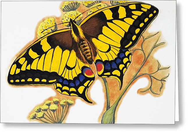 Butterflies Drawings Greeting Cards - Butterfly Greeting Card by English School